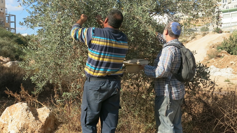 An Israeli and a Palestinian pick olives together in a disputed area. While Palestinians are often attacked by Israeli settlers as they collect olives, some Israelis have also taken to protecting them