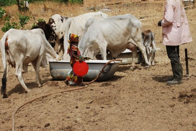 Little girl feeding her parents' cows, in Kaduna state - northwest nigeria