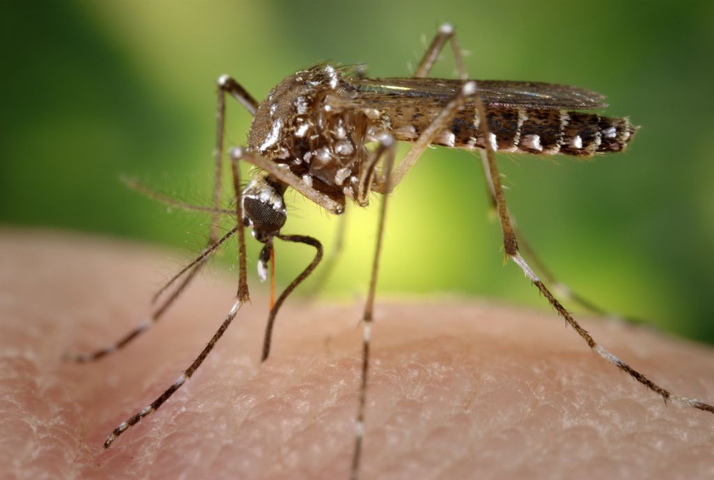 The aedes aegypti mosquito that spreads the Zika virus as well as dengue fever and chikungunya