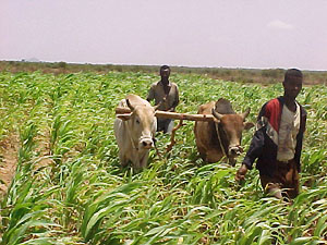 [Somalia] Two farmers with their oxen prepare their cornfield in the traditional way in the Boodlay area of northwest Somalia, 10 December 2002. Long-term regional drought has already killed hundreds of people and tens of thousands of livestock
