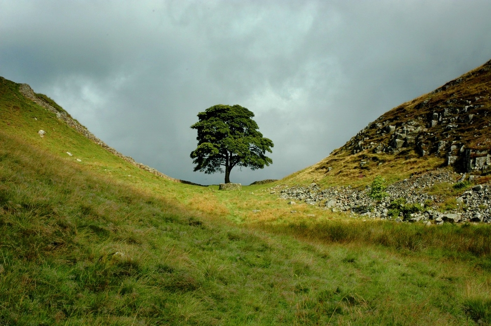 A sycamore tree grows next to the remains of the Roman Hadrian's wall between Scotland and England