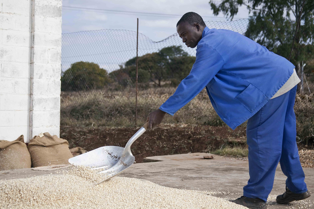 A farmer in Zimbabwe spreads out his harvest to dry in the sun
