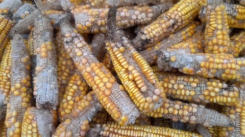 An infestation of fall army worm has infested more than 100,000 hectares of maize in Zimbabwe
