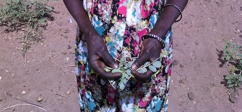 A woman in rural Senegal holding leaves of Cassia Italica, known locally as leydour