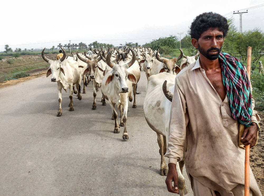 A man and cattle walking toward camera